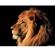 狮子 图片 互动百�