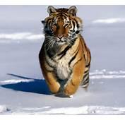 Tiger Eye Siberian Pictures Artwork Tattoos Wallpapers