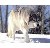 The Wolf Wildlife Interesting Facts &amp Photos