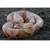 Northern Copperhead Vs Eastern Ratsnake AKA Blackrat Snake