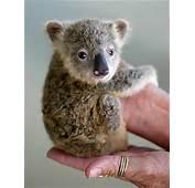 Baby Koala 8374 Animal Of The Week 4 Koalas