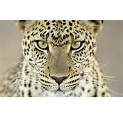 Home  Wallpapers / Photographs Animals The Cheetah