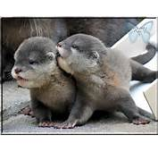 Cute Baby Otters 9111 Hd Wallpapers