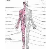 Diartrosis Articulaciones Móviles Como Las Que Unen Los Huesos De