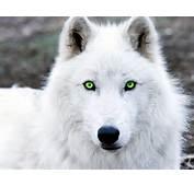 White Wolf  Wolfs Story Wiki