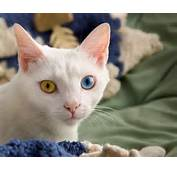 Why Do Some Cats Have Two Different Colored Eyes  THE PUSSINGTON POST