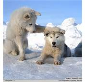 Cute Wolf Zone