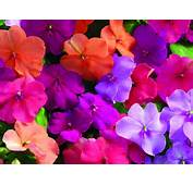 Impatiens Flower Specs Pictures Information  Flowers Gallery