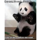 Funny Animal Pictures Panda Bears
