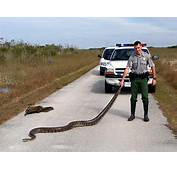 Large Burmese Pythons Are Now Regularly Encountered And Occupy A Wide