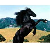 Beautiful Horses Black Horse S Animals Wallpapers For Desktopjpg