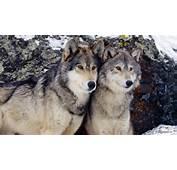 Free Animal Wallpaper  Wolf 1366x768 Index 6