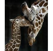 Baby And Mommy Giraffes
