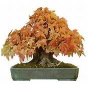Pin Bonsai Maple On Pinterest