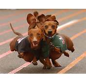 Dachshund Running 1400x1050 WallpapersDachshund Wallpapers