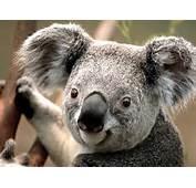 Download Koala Animal Desktop Wallpaper In High Resolution For Free