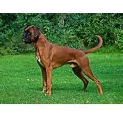Boxer Dogs Dog Breeds Animal Messages Totems Spirit Animalscom