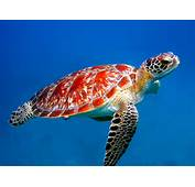 Sea Turtle Fish Turtles Are Found In All Major Oceans And Small
