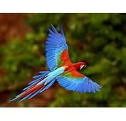 Macaw In Flight Wallpaper