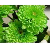 Beautiful Color Green Flowers – Nature HD Desktop Wallpaper