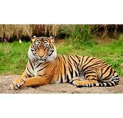 Bengal Tiger Latest Hd WAllpapers 2013