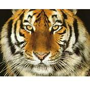 Tiger Face Close Up  Animals Wallpaper Image With Tigers
