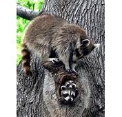 Adorable Raccoon Family In Tree