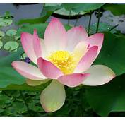 Sacred Lotus Nelumbo Nuciferajpg  Wikipedia The Free