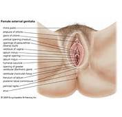 Definition Of « Genitalia Female External »