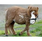 Miniature Animals Like This Horse Koda Are Very Rare And Really