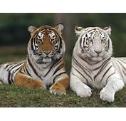 White Bengal Tiger Wallpaper 11275 Hd Wallpapers In Animals  Imagesci