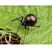 Black Widow Spiders Spider Pictures
