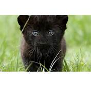Black Panthers Images Wallpaper Photos 31170208