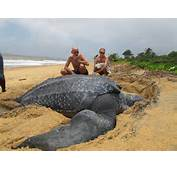 For This Majestic Species The Largest Of All Turtles To Be Stranded