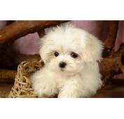 Screen Saver Dog Lovely Plains Animal Baby Wallpapers Puppy