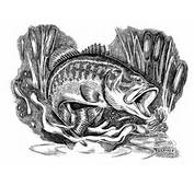 Illustration Drawing Of Largemouth Bass Micropterus Salmoides In