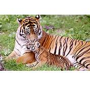 Tiger &amp Baby Wallpapers  HD
