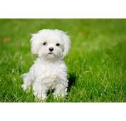 Maltese Dog Puppy Nano – Pet Collection World