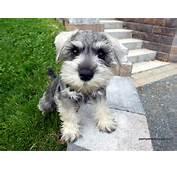 Miniature Schnauzer  All Small Dogs Wallpaper 14497230 Fanpop