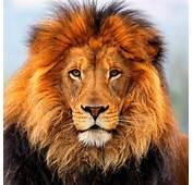 Le Lion Sur Animaux Dico