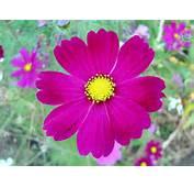 Dark Pink Cosmos Flowerjpg  Wikimedia Commons