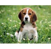 Animal Wallpapers Hd Hq Beagle Dogs