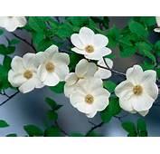 Canadas Provincial Flowers  Flower Blog