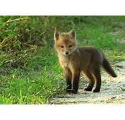 Baby Fox  Imgur