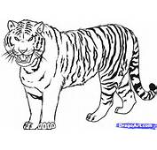 Bengal Tiger Coloring Page 14 903×636
