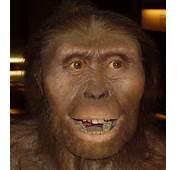 Australopithecus Afarensis NewJPG  Wikipedia The Free