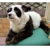 Panda Dog  Funnydogsitecom