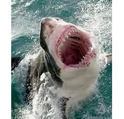 Cool Animal Pix Great White Sharks