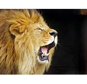 Description Roaring Lion Travis Jerveyjpg