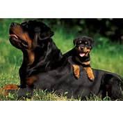 Rottweiler Puppies For Sale  Dog Bazar